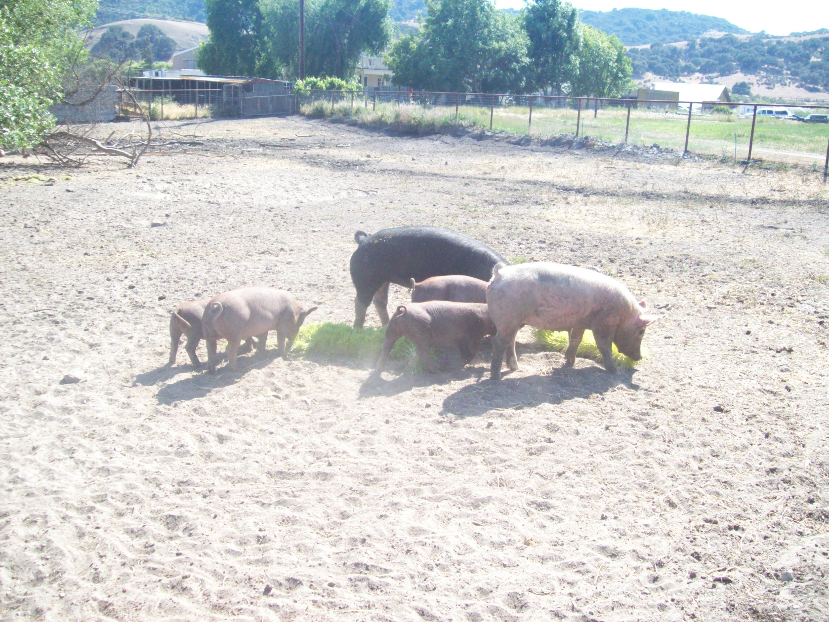 Dey Dey's Pigs